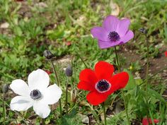 *ISRAEL~Anemone coronaria, a protected flower that grows wild all over Israel