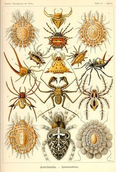 "Lessons of drawing and painting. St. Petersburg Ernst Heinrich Heinrich Philipp August Haeckel. These figures illustrate the biogenetic law, formulated by Müller in 1864 and then reformulated by Haeckel in 1866 in the form of ""recapitulation ontogeny of phylogeny."""