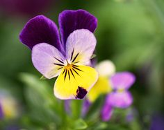 Sweet Violet art print ~ a beautiful blooming Viola tricolor flower, also known as Johnny Jump Up and Heartsease. www.ronablack.com