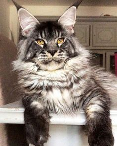 Image Result For Beautiful Norwegian Forest Cat Forest Cat