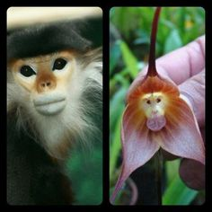 Monkey faced orchid species