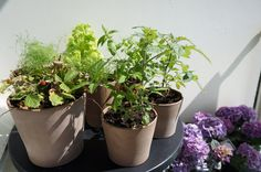 My Balcony, Stockholm. Herbs, hydrangeas.