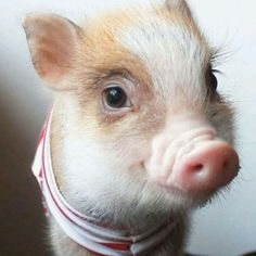 When a tiny pig is more photogenic than you. Cute Baby Pigs, Baby Piglets, Cute Piglets, Cute Baby Animals, Animals And Pets, Funny Animals, Farm Animals, Pig Pics, Teacup Pigs
