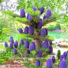50 pcs Abies seeds,korean fir,Nordmann Fir (Christmas Tree, Conifer) seeds tree. House Garden bonsai plants and flowers seeds