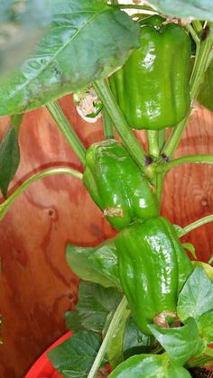 Bell Peppers in Alaska Grow Buckets