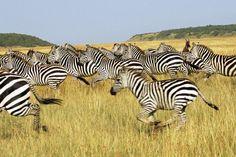 Top Africa Safari Destinations includes the best wildlife parks in Tanzania, Kenya, Uganda, South Africa, Zambia, Botswana and Gabon.