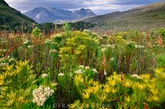 Proteas in wind, Leucospermum sp., Kogelberg Reserve, South Africa