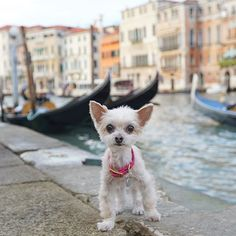"""""""@ellabeanthedog is a 4 lb puppy mill rescue. She overcame a lack of trust & medical issues to become the happy, healthy little diva she is today. Ella Bean is on vacation in Italy, spreading awareness about rescue to every new friend she meets!"""" #dogsofinstagram #dog #animals #dogs"""