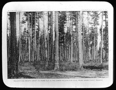 https://flic.kr/p/6oimgQ | Primeval forest - yellow pine - Priest River (Manning Lanern Slide 149) | Title: Primeval forest - yellow pine - Priest River n.d. Date: undated Description: Primeval forest - yellow pine - Priest River n.d. (Manning Lantern Slide: 149) Image ID: 218.LS.149 Related Information: Warren H. Manning Papers at the Iowa State University Library  Copyright 2009, Iowa State University Library, University Archives For Reproductions…