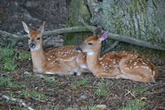 Twin Fawns 1 by PhotographyAndGoats on DeviantArt