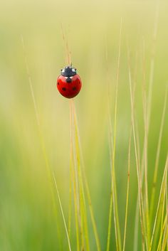 Photograph ladybug by Graziano Racchelli on 500px