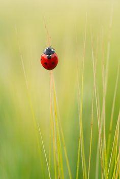 Photograph ladybug by Graziano Racchelli on 500px