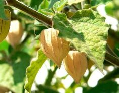 ll you ever wanted to know about Cape Gooseberries, an amazing addition to your garden.  Make delicious jelly, yummy eaten fresh, unusual mango/pineapple flavor. My seeds have germinated and will be ready for May planting ;)