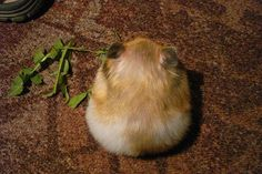 A ball of fluff. What Is Cute, Hamster Treats, Syrian Hamster, Animal Antics, Cute Hamsters, Rodents, Animal Pictures, Cute Animals, Creatures