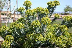 Gopher Plant - Desert Horizon Nursery
