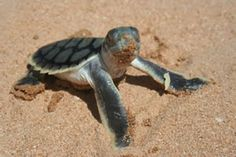 How can people kill something so cute? Sometimes I just don't get it. Endangered Species: Flatback Sea Turtle
