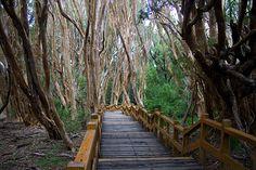 El bosque de arrayanes, Villa la Angostura. Bosque templado