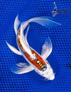 """Koi fish are the domesticated variety of common carp. Actually, the word """"koi"""" comes from the Japanese word that means """"carp"""". Outdoor koi ponds are relaxing. Koy Fish, Betta Fish, Koi Art, Fish Art, Butterfly Koi, Koi Painting, Goldfish Pond, Freshwater Aquarium Fish, Japanese Koi"""