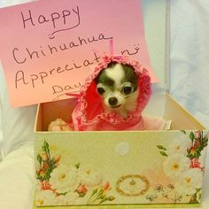 Every day should be Chihuahua Appreciation Day