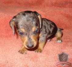 Doxie baby love these puppies