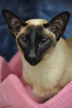 Beautiful Liz, Rachels gorgeous girl.......Siamese cat pink blanket