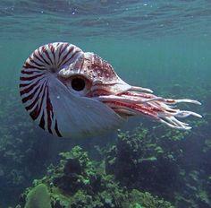 Nautilus - a pelagic marine mollusc of the cephalopod family by Dave Deepwater.JPG #reef #coralreef #ocean #seahorse #pods #aquarium #coral #reef #ocean #aquariums #saltwater #sealife #saltwaterfish #reeftank #sea #aquascape #fishtank #fish
