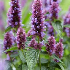 Create Pollinator-Friendly, Gorgeous Gardens with Perennials like Agastache Beelicious® Purple entices bees and butterflies with its fabulous blooms. An easy to grow plant, it's not fussy about the soil, thriving in sandy, loamy, and normal soils. Producing flower after flower, it blossoms all summer and well into autumn, adding stunning purple color to the garden. Growing Plants, Growing Vegetables, Hibiscus Flowers, Purple Flowers, Lavender Varieties, Bee Friendly Plants, Natural Ecosystem, Hydrangea Paniculata, Flower Tower