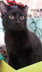 Taz is an adoptable Bombay Cat in Rockledge, FL. Taz – short for Tasmanian Devil. I'm small dark and handsome and love to play. Some might say that I get in to plenty of mischief. I call it fun. Do yo...