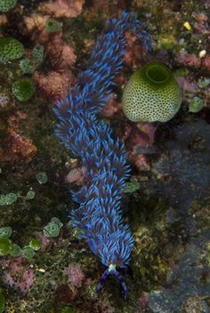 Chain Nudibranch   Flickr - Photo Sharing!