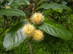 Buttonbush (Cephalanthus) will grow in damp or wet soils. It makes a wide spreading shrub with glossy green leaves and unique rounded blooms.