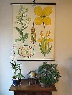 VINTAGE 1960s SCHOOL PULL DOWN BOTANICAL CHART OF RAPESEED