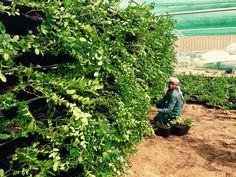 Green wall nursery -doha