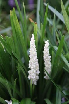 Perfect for a small low maintenance garden, lily-turf Liriope muscari Monroe White works well in containers or borders