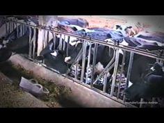▶ Amazing Smart Cows Compilation 2015 - YouTube