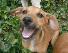 Sandy is an adoptable Jack Russell Terrier Dog in Trevorton, PA. Sandy is a 5 month old, 20 pound Terrier mix who was rescued from a parking lot, where she was dumped and remained there for 5 days unt...