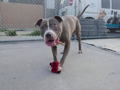 """On June 14, police discovered an abandoned dog, wandering alone in a park in Brooklyn, New York. The dog, dubbed """"Megatron,"""" was taken to the New York Animal Care Center (Brooklyn), but not surprisingly, nobody came forward to claim him. Megatron was on the """"euthanasia list"""" on June 22 – his Petharbor link is still …"""