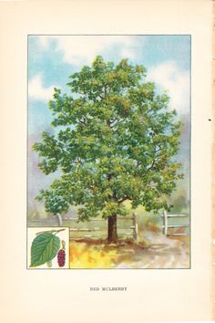 1926 Botany Print - Red Mulberry Tree