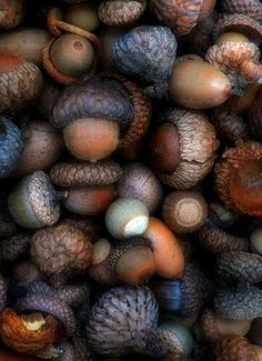 Acorns -- Oak and Hawthorn