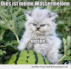 meine+watermelon   angry grumpy cat animal speaking german meine wassermelon watermelon ...