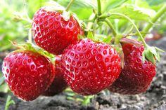 At vande rigtigt - og samtidig spare på gødningen i jordbærbedet er gode tips, hvis du konkurrerer med naboen om de flotteste jordbær. Få 12 konkrete tips til, hvordan du får succes med dit jordbærbed.