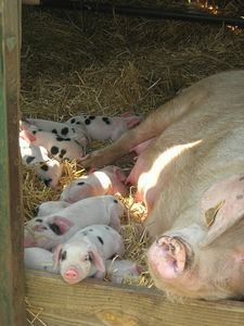 Cute piglets from the Cotswold Farm Park: http://www.aboutbritain.com/CotswoldFarmPark.htm