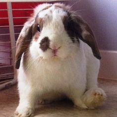 Patches is an adoptable Mini-Lop Rabbit in Pickering, ON.  ...