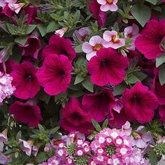 Petunia Hanging Baskets, Hanging Flower Baskets, Hanging Plants, Colorful Flowers, Spring Flowers, Beautiful Flowers, Flowers Garden, Indoor Flowers, Petunias