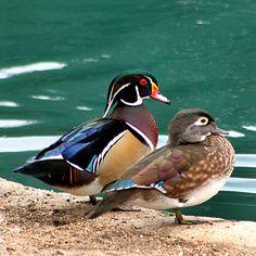Wood Duck - Wood Ducks breeding pair