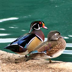 Wood Duck - Wood Ducks breeding pair