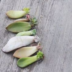 How to propagate succulents from leaf cuttings