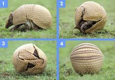 Texas's state animal the Armadillo. Can your state animal do this? I think not!