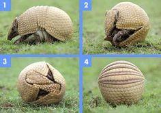 State Mammal (small) = Armadillo
