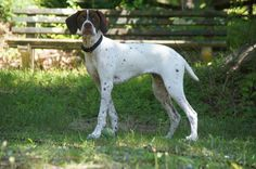 Braque Francais Pyrenean facts including: history, training&;temperament, and breed colors and markings.