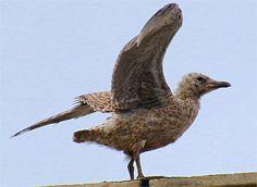 Erste Hüpfer und Flugversuche der jungen Mantelmöwe Bird, Animals, Kinds Of Birds, Boys, Animales, Animaux, Birds, Animal, Animais